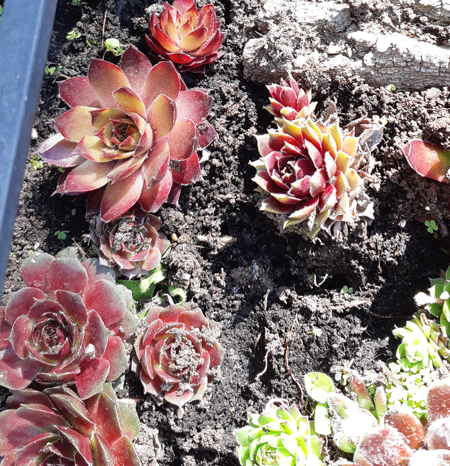 A variety of sempervivum plants, growing within a large planter. the plants are similar to cacti in texture, with more points radiating out from a centre point. One variety has a yellowish orange colour with red tips, another has blue green tips with a pinkish red base colour, and the last variety has silver tips with a dark pink base colour.